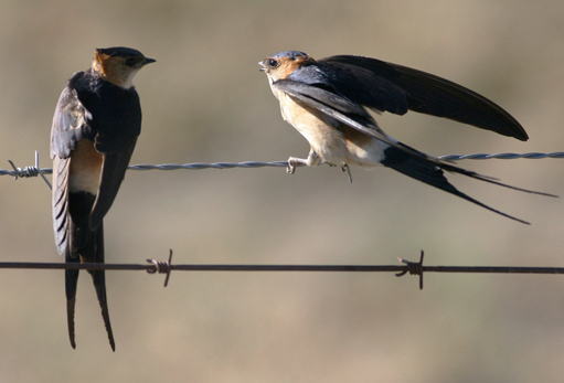 Red-rumped Swallows