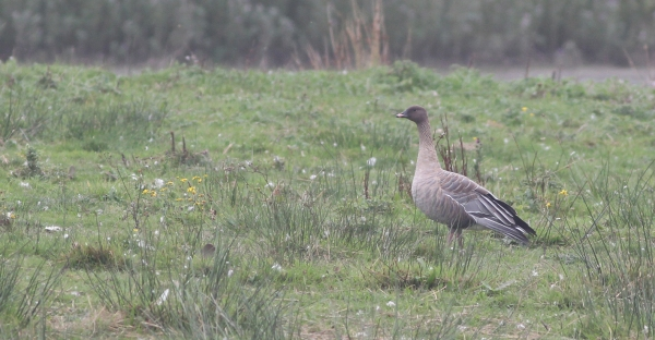 Pink-footed Goose at the Dams, Sep 2013
